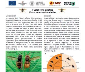 "Information sheet on the Asian hornet ""Vespa velutina"""